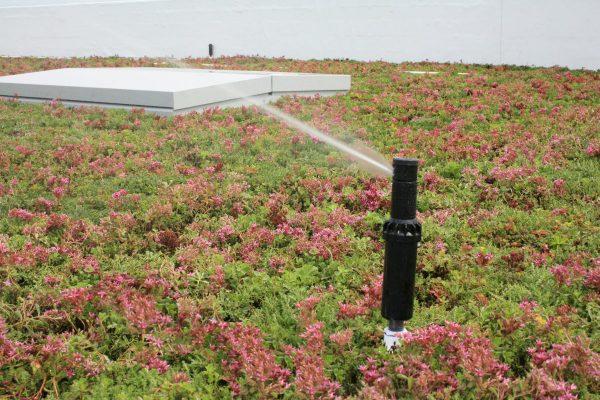Sprinkler irrigating a LiveRoof system.