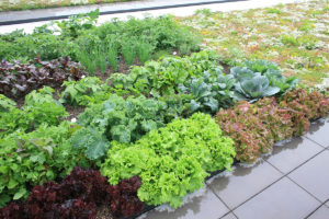 LiveRoof installation with green roof herbs, vegetables, lettuces, greens and more produce / food.