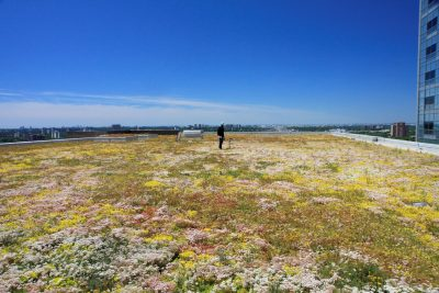 Humber River Regional Hospital's green roof in bloom.