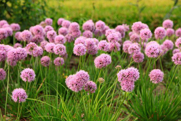 Allium senescens Mini Milli ('Nonillimin')