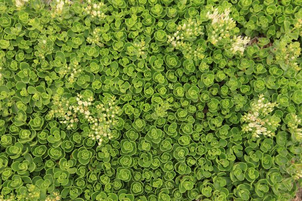 Sedum spurium Promise™ ('Nonesim') is a LiveRoof developed selection that is a strong, durable grower compared to other white-flowering Sedums.