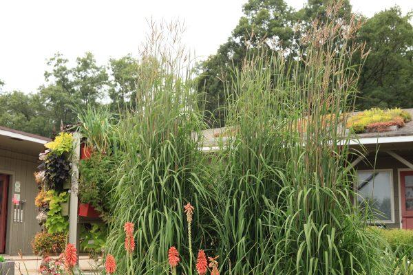 Andropogon gerardii Karls Cousin grass